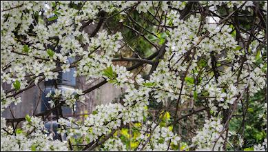 Photo: Vișin Turcesc (Prunus Mahaleb) - din Cimitirul Crestin Central - 2017.04.13