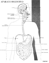 Photo: cuerpo humano aparato digestivo