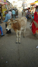 Photo: Immer mittendrin, die Kuh