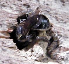 Photo: Osmia caerulescens operculant son nid
