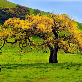 Spring Oak and Kids by Lee McLaughlin - Landscapes Prairies, Meadows & Fields ( hills, ranch, animals, colors, california, kids, sonoma, spring, country, farm, goats, pasture, oak, meadow, petaluma )