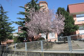 Photo: Prunus - Abruñeiro de Xardín  // Cerdeira Xaponesa  CEP Campolongo http://herbasdoghafos.blogspot.com.es/2015/05/cerdeira-xaponesa-prunus-cerasifera.html