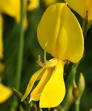 Photo: Spartium junceum (Ginestra odorosa)