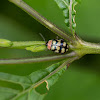 Harlequin leaf beetle