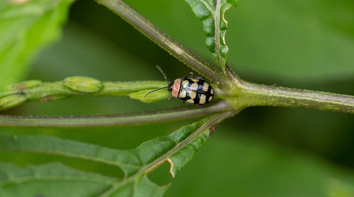 Harlequin leaf beetle