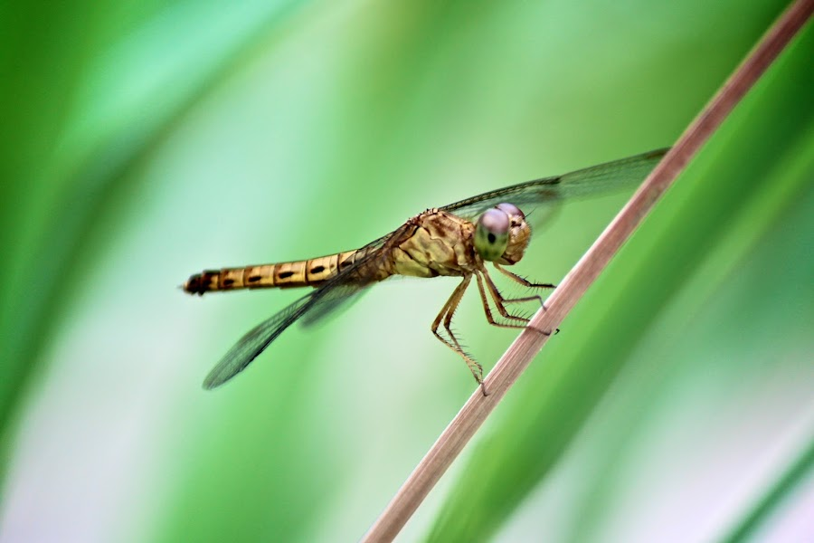 Dragonfly by Kai Jian - Animals Insects & Spiders