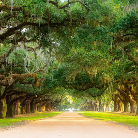 Avenue of Oaks by Justin Orr - Landscapes Forests ( charleston, hall, oaks, avenue, boone, trees, plantation, south carolina )