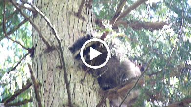 Video: A very shaky video of a mother Racoon and one of her kits that were spooked up a tree by a Great Horned Owl that swooped down on them when they were on the ground. Another kit scrambled up an adjacent small fir tee. At the end of the clip is the offending owl.