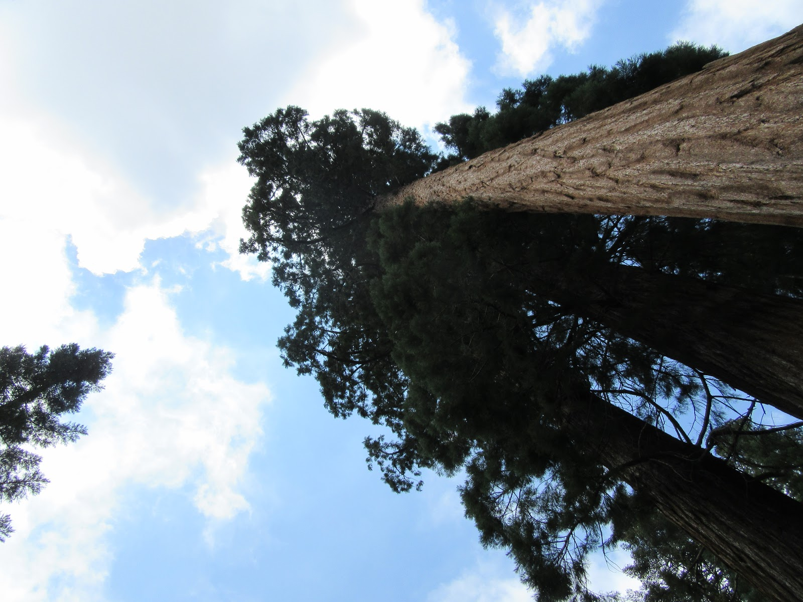 Cycling  Bear Creek Road on road bike - vertical photo of giant sequoia redwood
