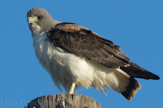 Photo: White-tailed Hawk