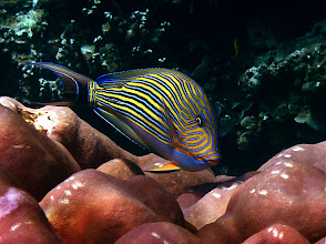 Photo: lined surgeonfish, Ao Maeyai