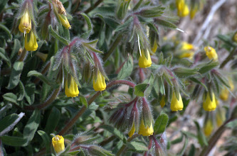 Photo: Onosma graeca Boiss. (Boraginaceae)