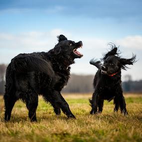 marital dispute... by Jens Klappenecker-Dircks - Animals - Dogs Playing ( grosser muensterlaender, bernese mountain dog, pelle, final say, emma )