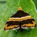 Yellow banded Choreutid moth