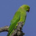 rose-ringed parakeet, ring-necked parakeet