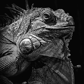 iguana by Ad Spruijt - Black & White Animals