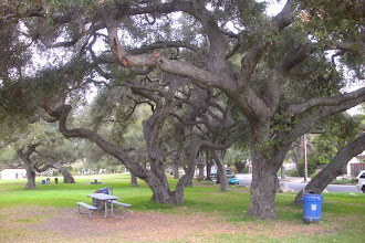 Photo: Oak tress in Oak Park, Santa Barbara, California, Feb. 11, 2012