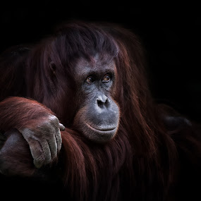 by Ingrid Krammer - Animals Other ( red, zoo, ape, thought, orangutan )