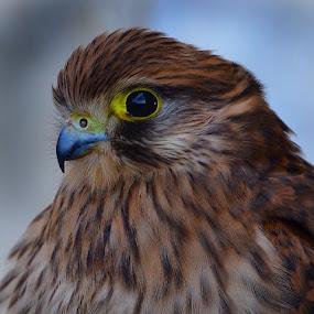 Falknerei Rosenburg by Helga Be - Animals Birds ( so beautiful )