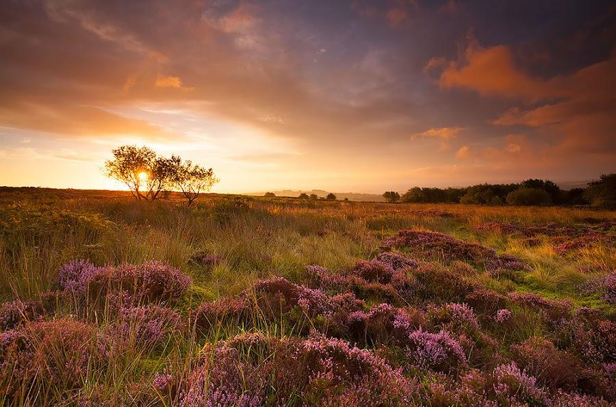 Summer Sunrise by Martin West - Landscapes Prairies, Meadows & Fields ( bracken, trees, summer, sunrise, heather, colours,  )