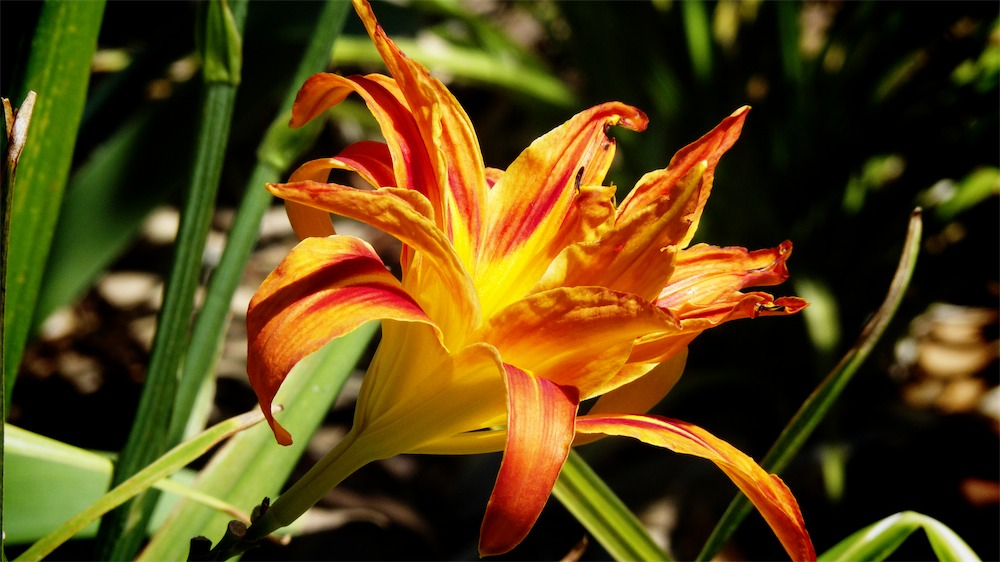 Flame Lily.jpg