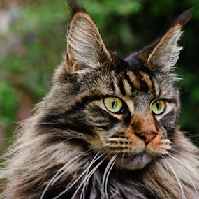 What....? by Charel Schreuder - Animals - Cats Portraits ( cat, maine coon, yoda )
