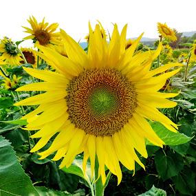 Sunflower  - Bistrica ob Sotli,Slovenia by Andjela Miljan - Flowers Flower Gardens (  )