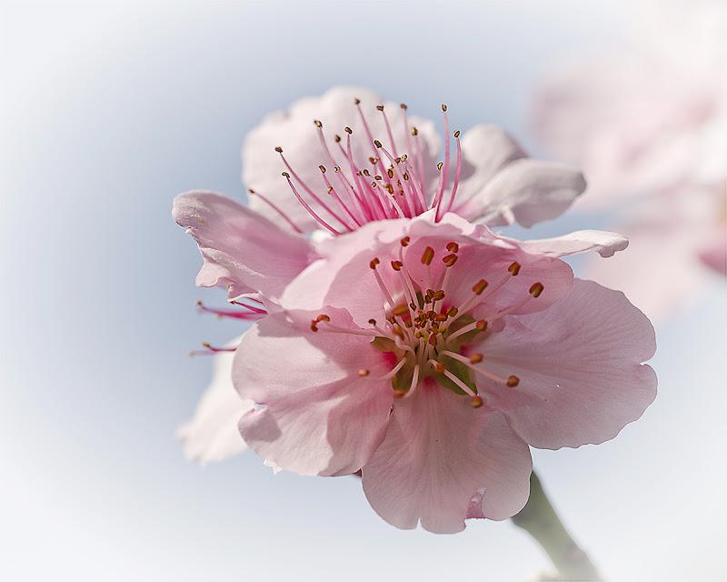 Primavera in rosa di Cristina Rocca