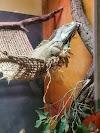 Image 6 of Winking Lizard, Macedonia