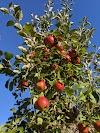 Image 4 of Pine Tree Apple Orchard, White Bear Lake, MN, Dellwood