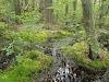 Image 7 of Atlantic White Cedar Swamp Trail, Wellfleet