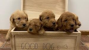 Adorable Doodle Pups