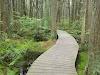Image 5 of Atlantic White Cedar Swamp Trail, Wellfleet