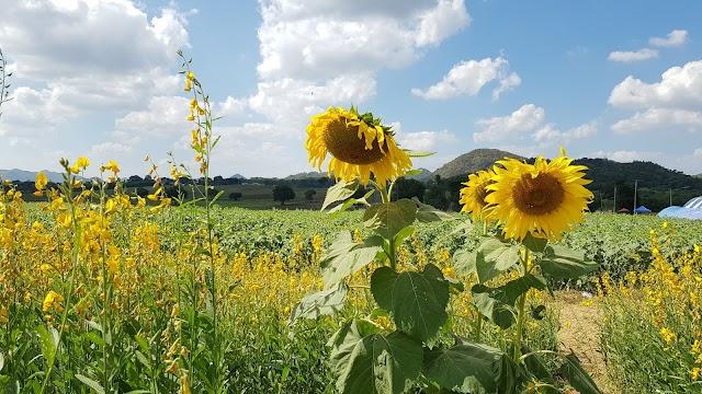 "Sunflower field ""Rai Manee Sorn"""