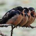 Barn swallow (juvenile)