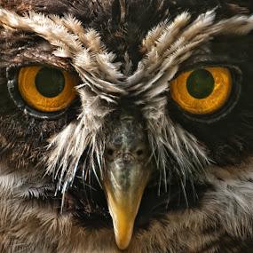 Owl's that! by Chris Boulton - Animals Birds ( bird, marwell, beak, owl, animal )