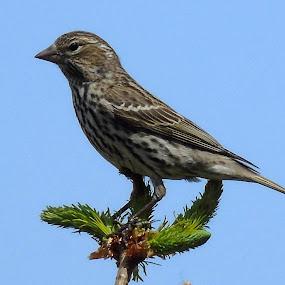 SKY BIRD by Cynthia Dodd - Novices Only Wildlife ( animals, sky, nature, outdoors, wildlife, birds )