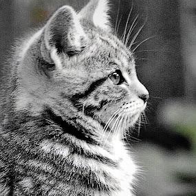 KITKAT by Melanie Pond - Animals - Cats Kittens ( gato, cats, cat, kitten, kittens, felines, kitty,  )