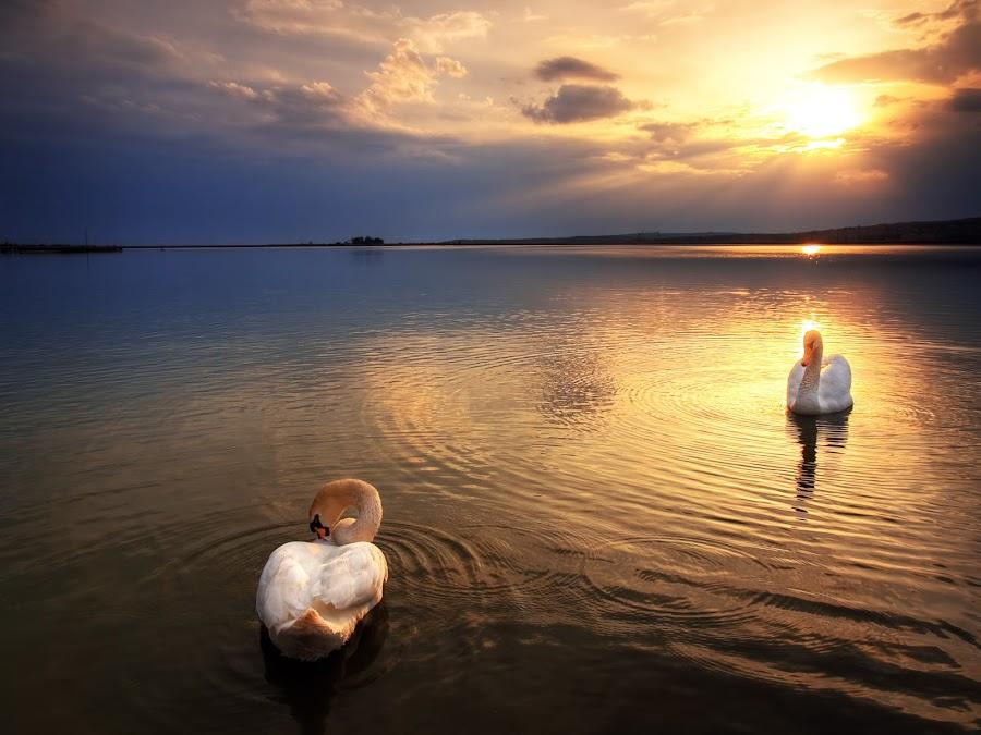 Twilight swans II. by Zsolt Zsigmond - Landscapes Waterscapes (  )