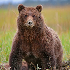 Brown Bear by Anthony Goldman - Animals Other Mammals ( mammal, predator, bear, brown, wild, lake clark, meadow, wildlife,  )