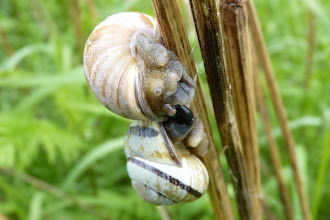 Photo: Pacific Sideband snails