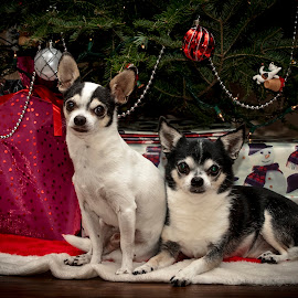 Christmas Chihuahua's by Debbie Quick - Public Holidays Christmas ( chihuahua, debbie quick, christmas tree, canine, decorations, dog, christmas, debs creative images, hudson valley, k9, in the home )