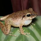 Schmidt Wrinkled Ground Frog