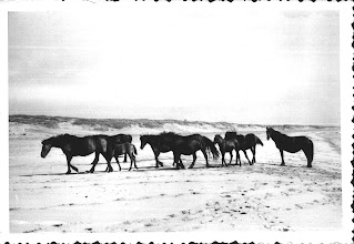 Photo: Wild horses on the isthmus between Miquelon and Langlade