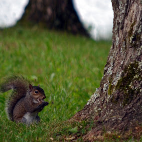 I've Got My Eye on You by Heather Simmons - Animals Other Mammals ( park, nut, squirrel )