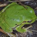 Sardinian treefrog