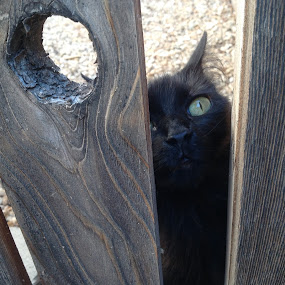 Let Me Out!  by Diana Reed Kubec - Animals - Cats Playing ( fence, cat, black cat, brown cat, animal,  )