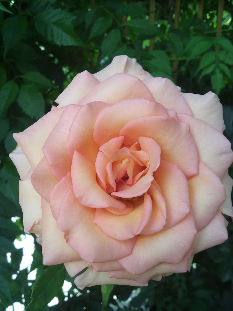 Rosa rosa di giulia_juls