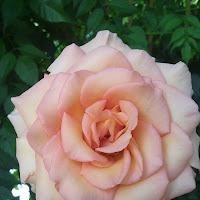 Rosa rosa di