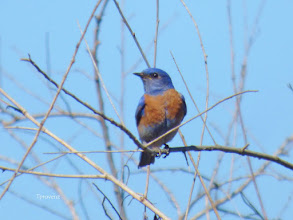 Photo: Western Bluebird Tony Provenzano